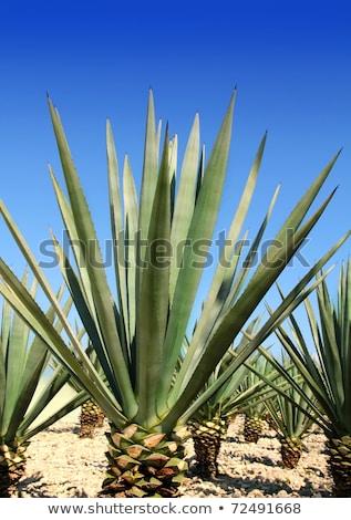 agavé · növény · mexikói · tequila · szeszes · ital · égbolt - stock fotó © lunamarina
