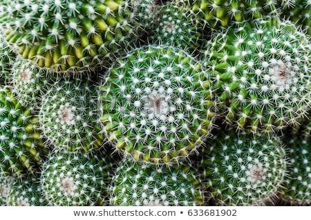 yeşil · kaktüs · sarı · saksı · üst · görmek - stok fotoğraf © illia