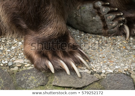Brown Bear Paw With Claw Stock photo © hittoon
