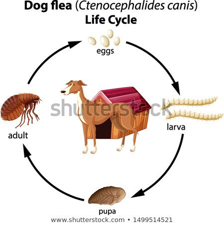 Dog flea life cycle on white background Stock photo © bluering