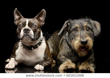 Boston · terrier · cão · sorrir · cabelo · retrato - foto stock © vauvau