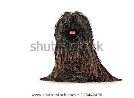 ritratto · adorabile · isolato · nero · animale - foto d'archivio © vauvau