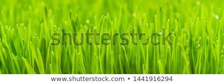 Frescos wheatgrass planta orgánico jugo nutritivo Foto stock © galitskaya