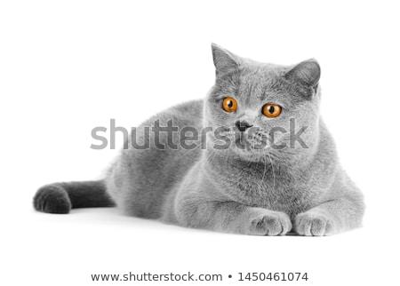 Brits Blauw kat grappig cute geïsoleerd Stockfoto © MyosotisRock