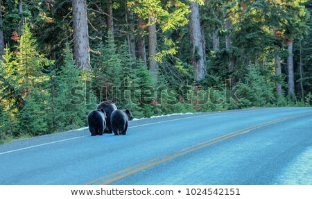 Black Bear (Ursus americanus) in the wild, in Yellowstone National Park stock photo © mtilghma