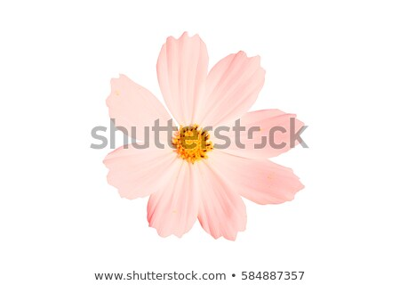 Single pink cosmos flower Stock photo © Arrxxx