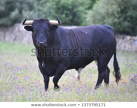 Stock photo: young bulls on green meadow