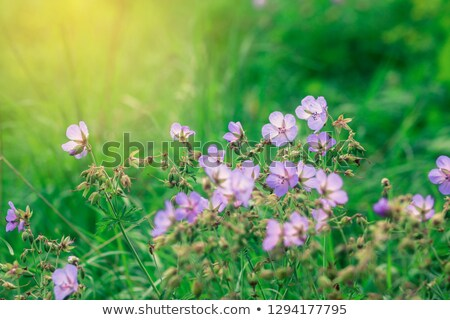 Wild Geranium flowers among green leaves Stock photo © AlessandroZocc