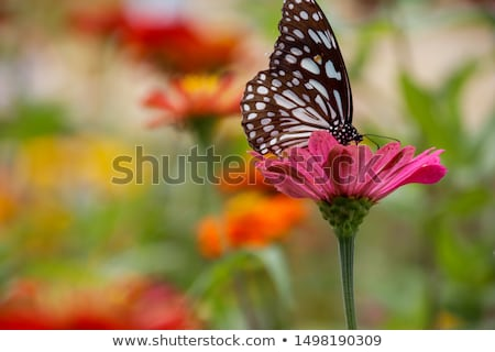 Black and White butterflies on Pink Gerberas. stock photo © pixelmemoirs