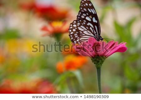 Siyah beyaz kelebekler pembe üç farklı çiçek Stok fotoğraf © pixelmemoirs