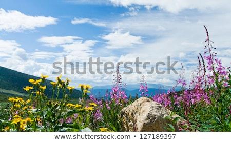 Wildflowers in Alpine Tundra Stock photo © wildnerdpix