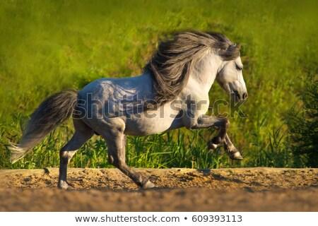 pony grey stock photo © mariephoto