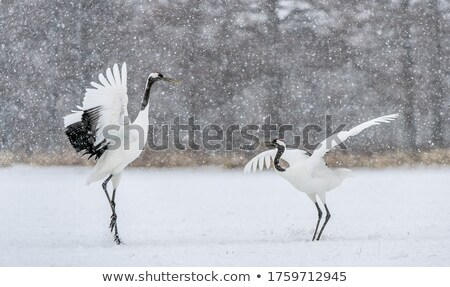 crowned crane stock photo © witthaya