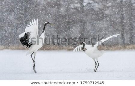 Crowned Crane stock photo © Witthaya