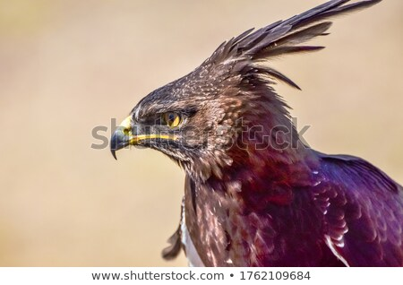 Long-crested Eagle in Africa Stock photo © prill