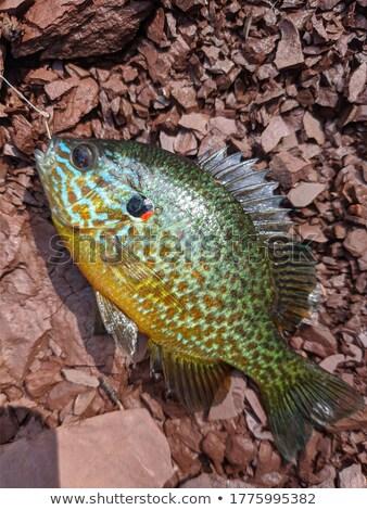 sunfish stock photo © brm1949