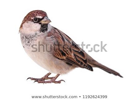 Serçe bir kahverengi gri kuş tüy Stok fotoğraf © mariephoto