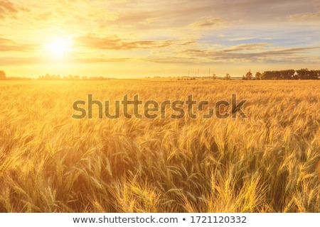 Field at sunrise stock photo © azjoma