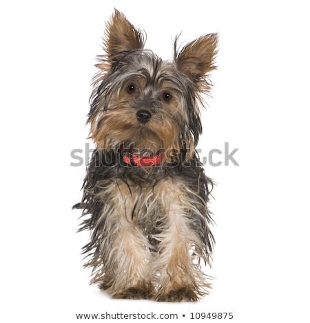 Bonitinho pequeno yorkshire terrier caminhada câmera Foto stock © fantasticrabbit