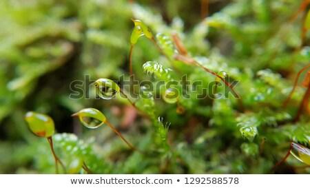 Makro widoku zielone mech wody Zdjęcia stock © tainasohlman