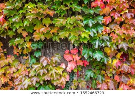 Verde parede Boston hera japonês uva Foto stock © Arrxxx
