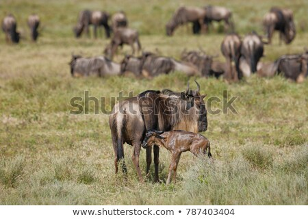 Stock photo: Young Blue Wildebeest