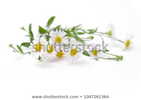 Camomila escuro grama flores natureza luz Foto stock © OleksandrO