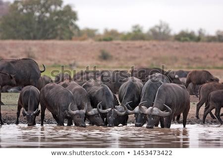 cape buffalo syncerus caffer stock photo © dirkr