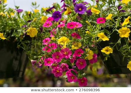 Roxo macro tiro flores primavera Foto stock © mroz