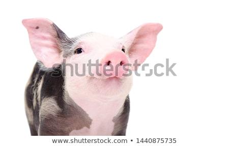 black and white portrait of domestic pig Stock photo © taviphoto