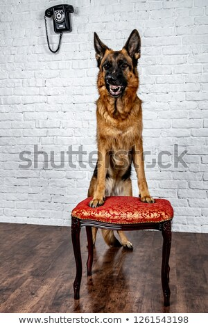 german shepherd portrait in a dark photo studio stock photo © vauvau