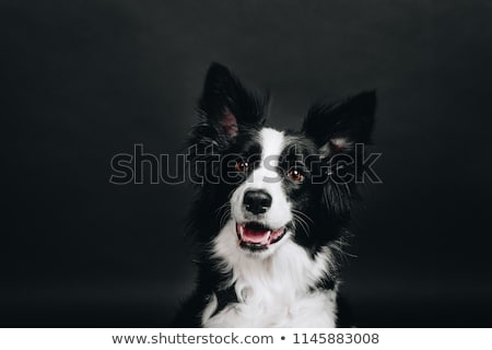 Foto stock: Branco · engraçado · cão · escuro · estúdio · feliz
