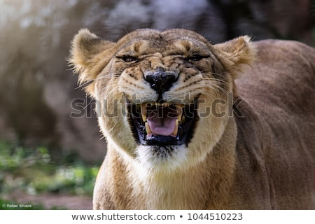 Lioness opened mouth Stock photo © simply