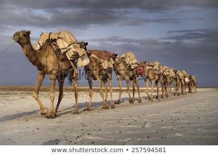 верблюда караван Верблюды пустыне пальмами закат Сток-фото © liolle