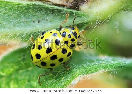 fekete · citromsárga · katicabogár · kicsi · katicabogár · borravaló - stock fotó © goce