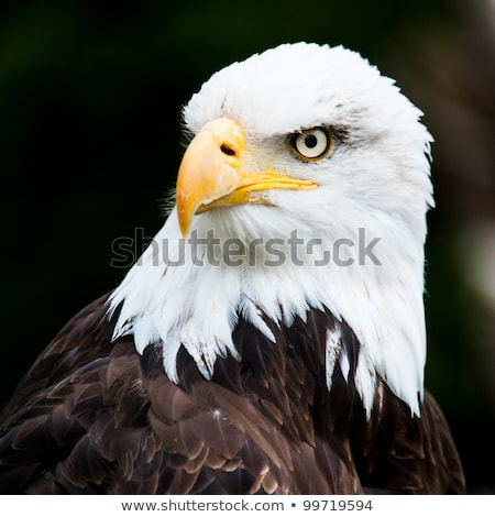 American Bald Eagle (Haliaeetus leucocephalus) portrait. Stock photo © yhelfman