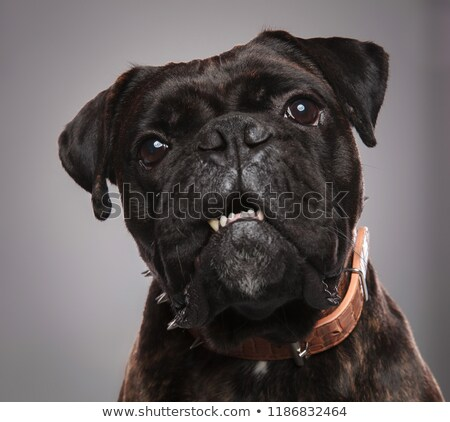 head of adorable black boxer with mouth open Stock photo © feedough