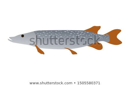 Predator Pike Freshwater Inhabitant. River Fish Stock photo © robuart