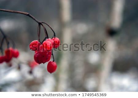 piros · bogyók · ágak · égbolt · fa · fa - stock fotó © romvo