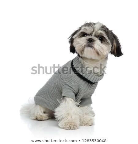 adorable shih tzu wearing grey sweater sitting Stock photo © feedough
