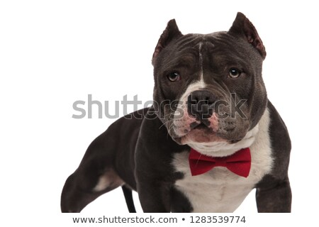 close up of classy american bully wearing red bowtie stock photo © feedough