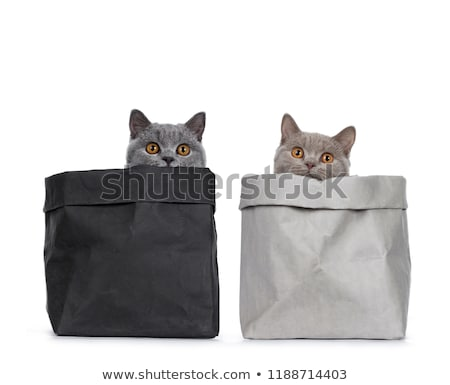 young duo of excellent solid blue and cinnamon british shorthair cats isolated on white background stock photo © catchyimages