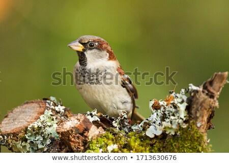 Erkek ev serçe bahçe kuş Stok fotoğraf © taviphoto