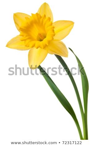 Giunchiglia fiore verde stelo illustrazione natura Foto d'archivio © colematt