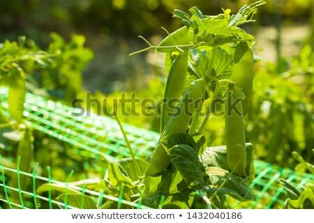 エンドウ 晴れた グリッド フィールド 野菜 ストックフォト © romvo