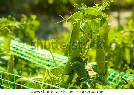 peas bunch grows on sunny grid field Stock photo © romvo