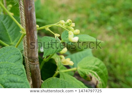 Pod and white flowers on a yin yang bean plant  Stock photo © sarahdoow
