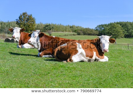 Сток-фото: Brown Cow Resting On Mountain Pasture