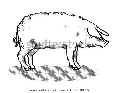 Mangalitza Pig Breed Cartoon Retro Drawing Stock photo © patrimonio