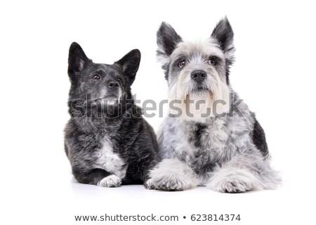 Adorable mixto raza perro miniatura Foto stock © vauvau